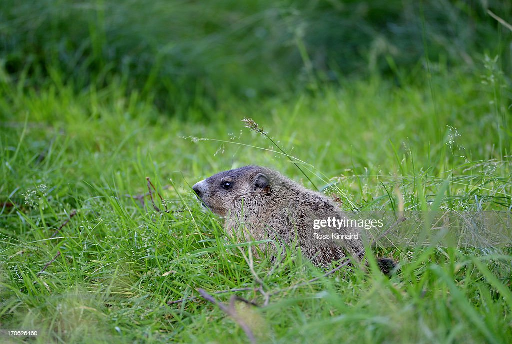 A groundhog is seen along the sixth fairway during Round Three of the 113th U.S. Open at Merion Golf Club on June 15, 2013 in Ardmore, Pennsylvania.