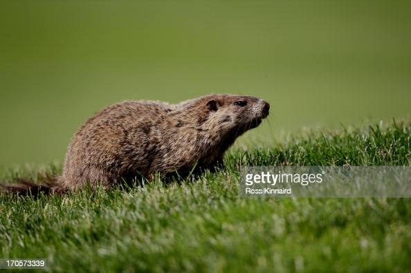 A groundhog is seen on the sixth fairway during Round Two of the 113th US Open at Merion Golf Club on June 14 2013 in Ardmore Pennsylvania