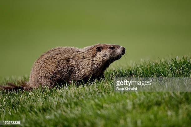 Marmotte Photos et images de collection | Getty Images