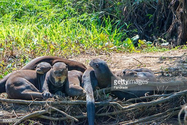 Group Giant Otter Pantanal Brazil