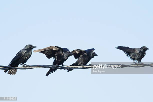 Group of 4 crows (Corvus ossifragus) on a wire