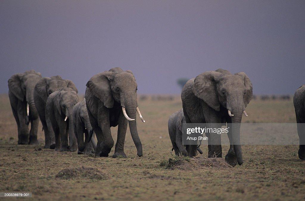 Group of African elephants (Loxodonta africana) migrating, Kenya : Stock Photo