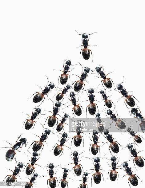 Group of ants, white background, overhead view