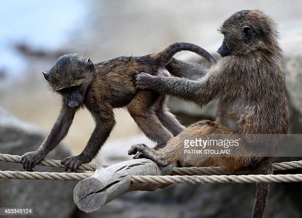 A group of baboons play in an enclosure at the 'ZOOM' Zoo in Gelsenkirchen western Germany on August 8 2014 AFP PHOTO / PATRIK STOLLARZ