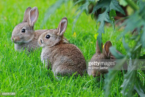 Group Of Rabbits 67