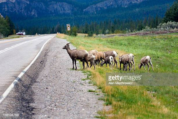 Group of Bighorn Sheep, Ovis canadensis, alongside road in Jasper National Park. Alberta, Canada