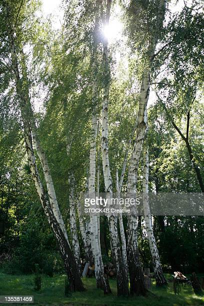 Group of birch trees in shadow, Augsburg, Bavaria, Germany