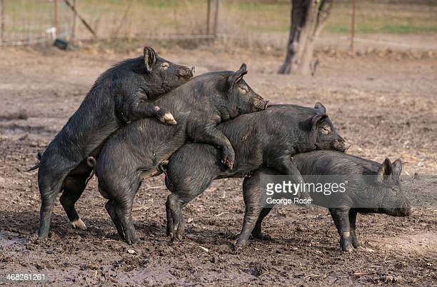 A group of black heirloom pigs engage in a humorous group mating session on January 6 near Calistoga California With 2013 the driest year in recorded...