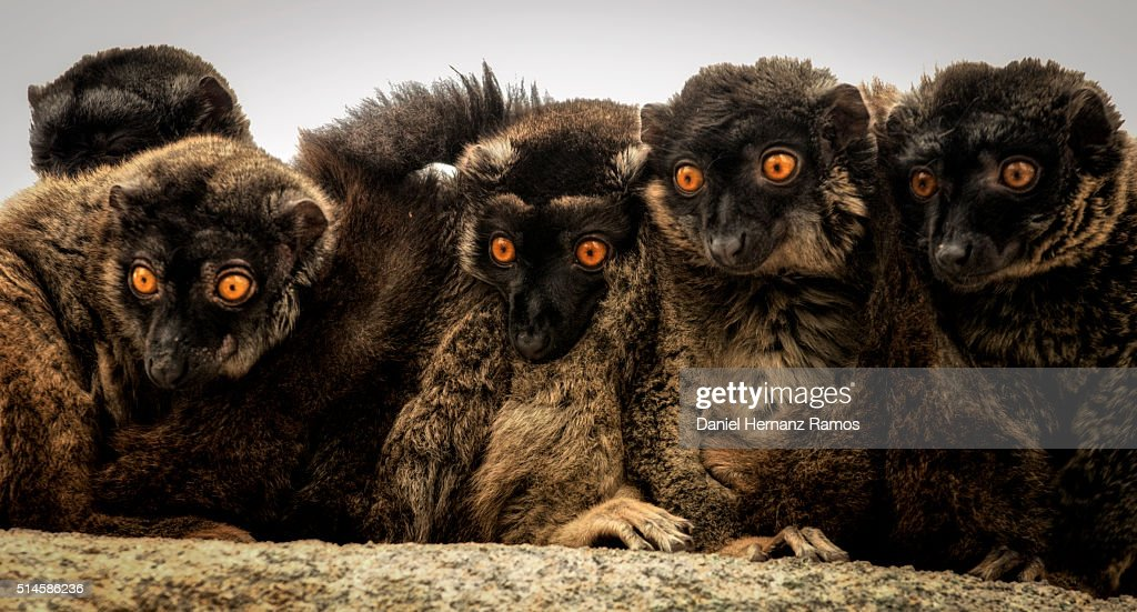 group of brown lemur