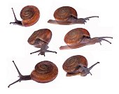 Group of  brown snails isolated on white background , Monachoides vicinus