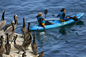 A group of California brown pelican watch from a bluff as a pair of kayakers glides by at La Jolla Cove on the eve of Earth Day on April 21 2007 in...