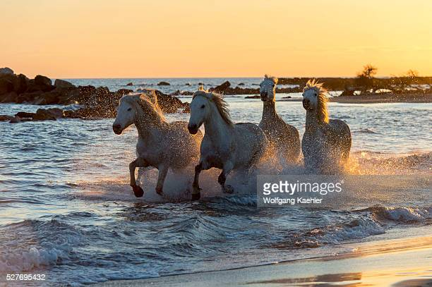 A group of Camargue horses is running at sunset through the shallow water along a beach on the Mediterranean Sea in the Camargue in southern France