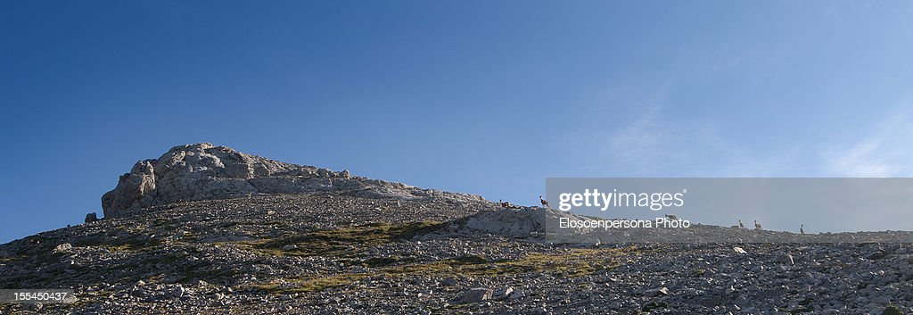 A group of Chamois : Stock Photo