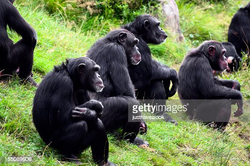 A group of chimpanzees sitting on grass