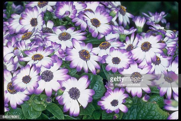 A group of cineraria blossoms with light purple edges on their petals 1972