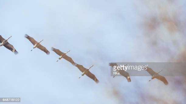 Group of Common crane ( Grus Grus) in the sky above