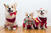 Group of corgis dressed in Christmas clothes