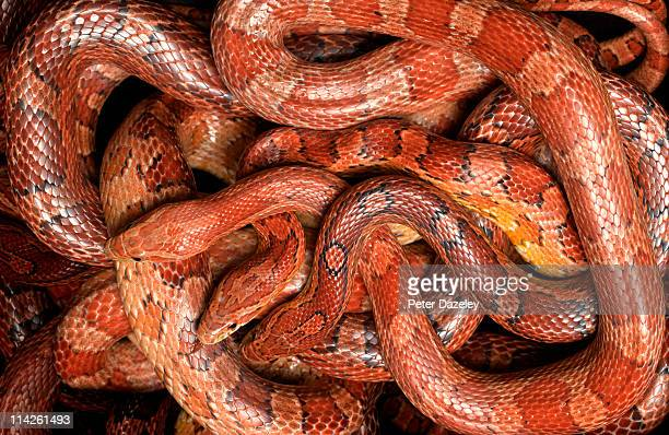 Group of corn snakes form above