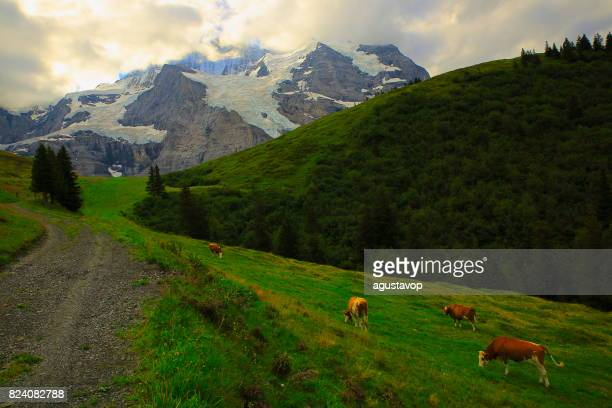 Group of cows herding under Jungfrau, above Wengen and Lauterbrunnen valley, Fary tale landscape: idyllic alpine valley and meadows, dramatic swiss snowcapped alps, idyllic countryside, Bernese Oberland,Swiss Alps, Switzerland