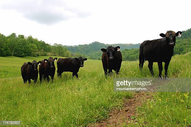 Group of cows in a field looking at camera