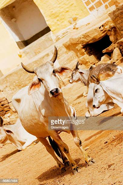 Group of cows on the street, Jaisalmer, Rajasthan, India