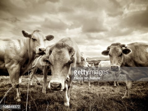 Group of Cows Standing in Field, Sepia Toned