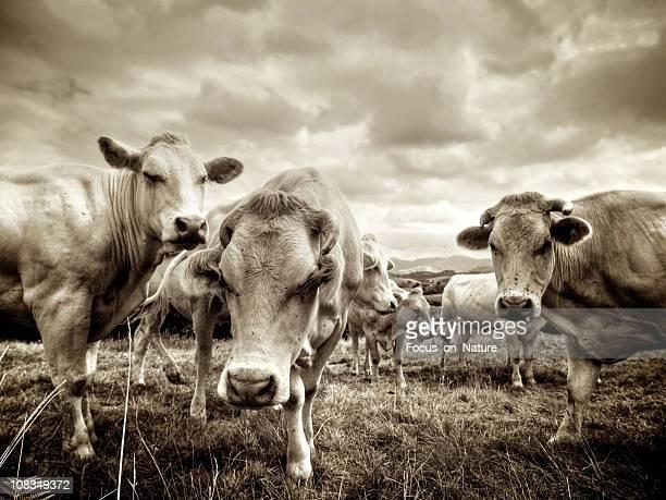 グループの牛に立つフィールド、セピア調