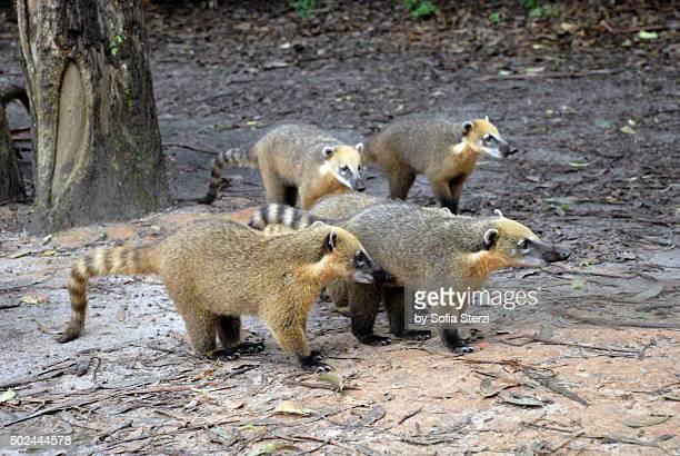 Group of curious coatis