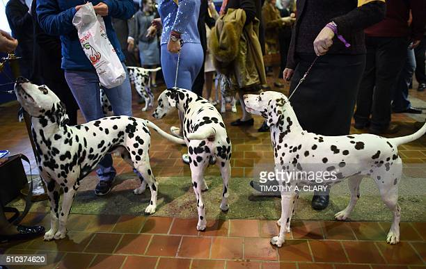 A group of Dalmations wait in the judging area February 15 2016 in New York during the first day of competition at the Westminster Kennel Club 140th...