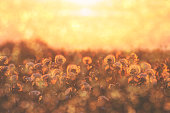 group of dandelion flowers at sunset with blossom and pollen