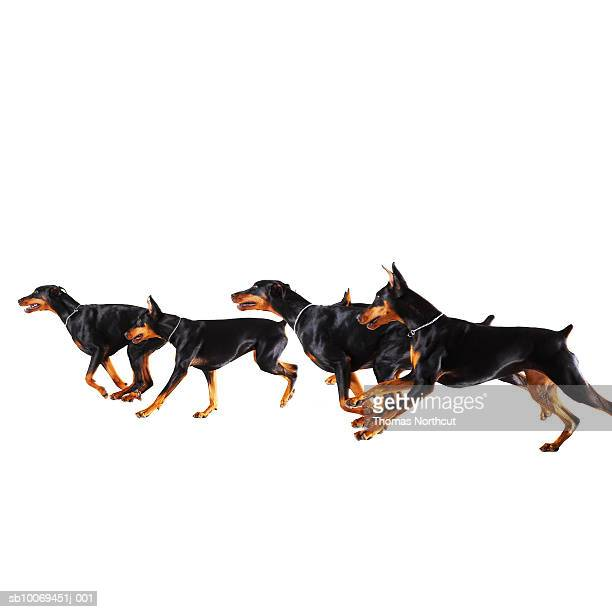 Group of Dobermans running against white background