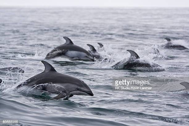 A group of dolphins jumping through ocean waves