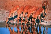 Group of drinking Impala (Aepyceros melampus)