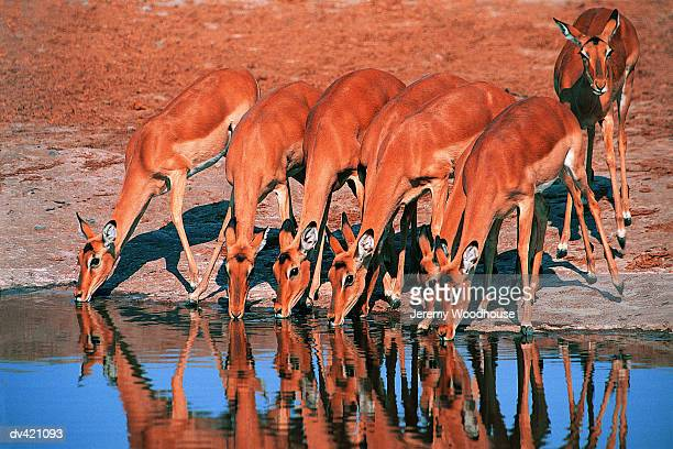 Group of drinking Impala (Aepyceros melampus)