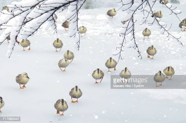 Group Of Ducks In Winter