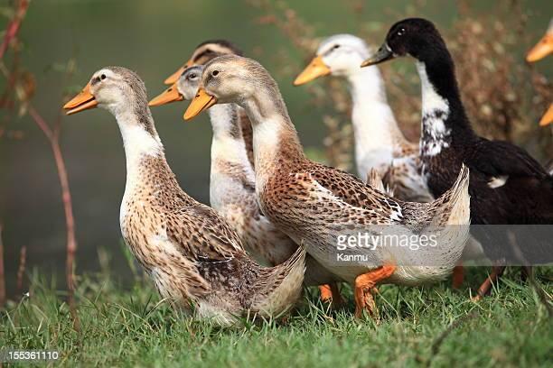 Gruppe von Enten