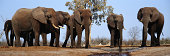 Group of elephants (Loxodonta africana) at watering hole