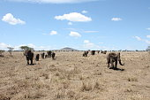 A big group of elephants is walking by the national park of Serengeti