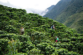 Group of Colombian farmers collecting coffee beans at a farm and harvesting the crop
