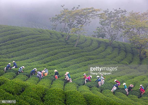 A group of farmers picking tea on a summer afternoon in Cau Dat tea plantation, Da lat, Vietnam