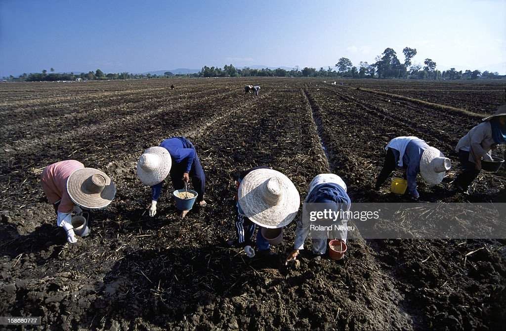A group of farmers seeding soy beans in the burnt soil after the rice harvest in the northern Thailand of Chiang Rai.