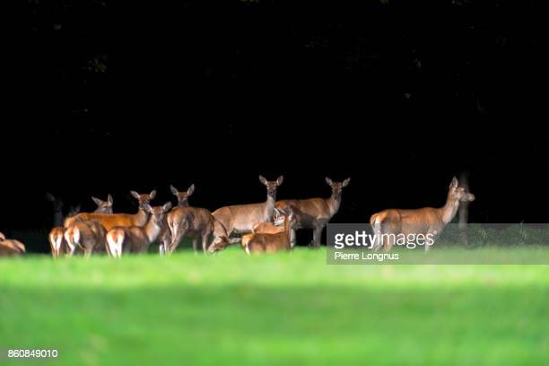 Group of female deer Standing on the edge of a deep and dark contrasty forest - the Gruyere region of Switzerland