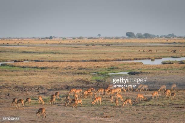 Group of female impalas grazing