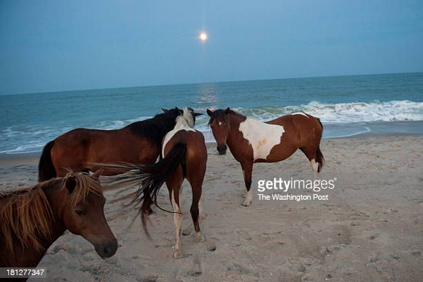 A group of feral horses walk towards the ocean at the Assateague Island National Seashore in Berlin MD on August 20 2013 During the hot summer months...