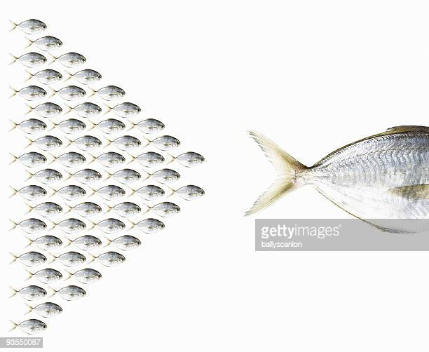 Group of Fish Following One Large Fish.