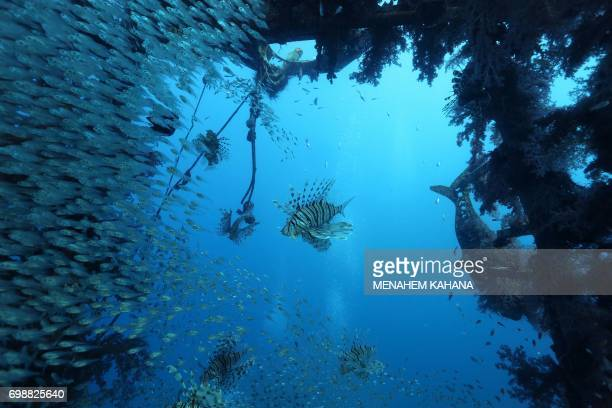 A group of fish is seen schooling near the wreck of a ship in the Red Sea off the southern Israeli resort city of Eilat on June 12 2017 Global...