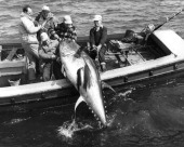 A group of five men haul a huge bluefin tuna into a boat in the Strait of Canso Nova Scotia circa 1960