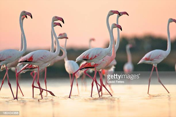 Group of flamingos at dawn, Oristano Region in Sardinia, Italy