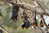 This is a group of grey headed flying foxes. They are hanging from the trees in the area they roost during the day. Image taken in Melbourne, Australia.