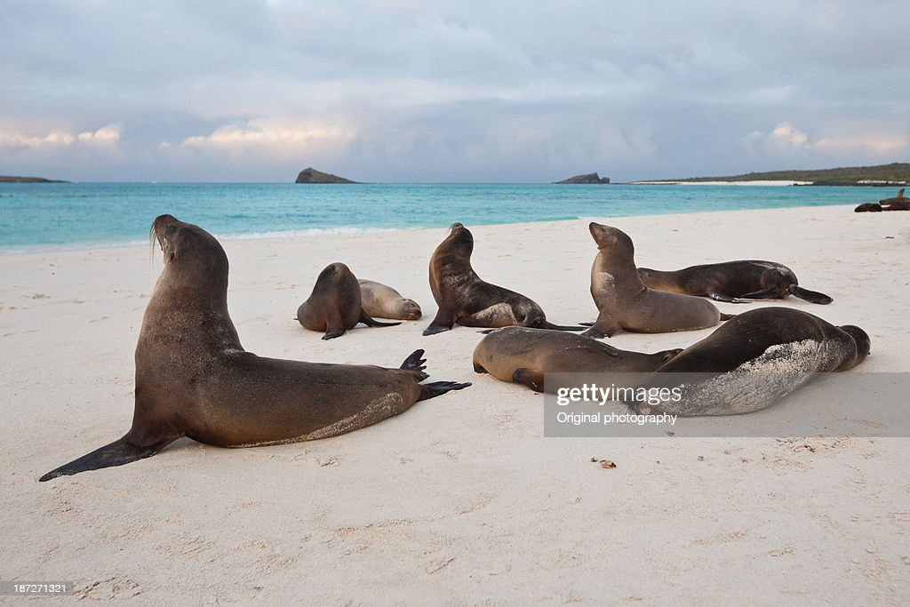 Group of fur seal on a beach, Galapagos Islands